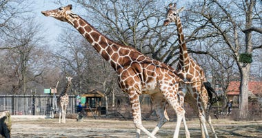 Brookfield Zoo's reticulated giraffes, Arnieta and Potoka, enjoy the spring weather today as they stretch their legs in their outdoor habitat for the first time this season.