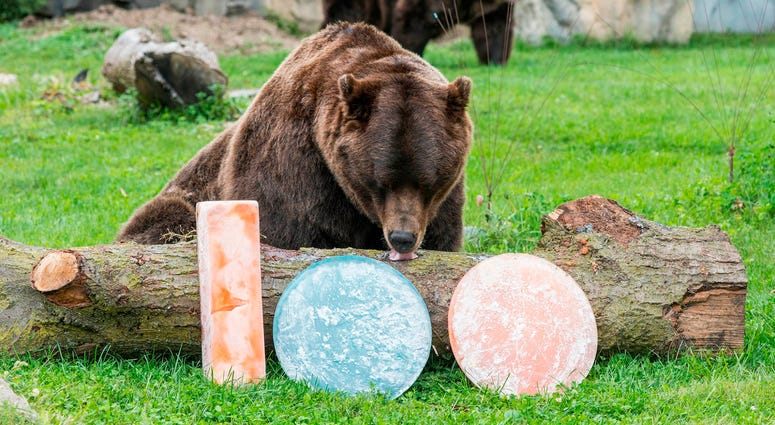 Axhi, one of Brookfield Zoo's grizzly bears, is treated to orange and blue ice treats filled with oranges and blueberries in celebration of their favorite Chicago football team celebrating the start of their 100th season.