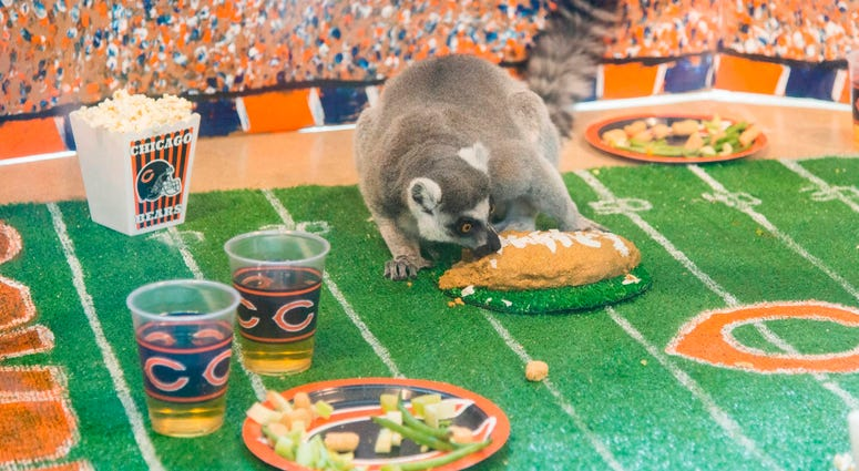 In celebration of Chicago's football team celebrating its 100th season, Brookfield Zoo's ring-tailed lemurs were treated to a tailgate party wishing their favorite team congratulations.