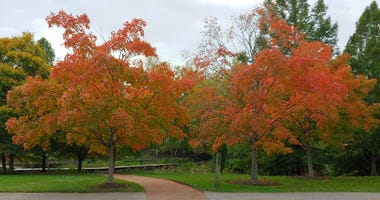 At the Circle Garden in the Chicago Botanic Garden, two Sugar Maples are a rusty orange-red.