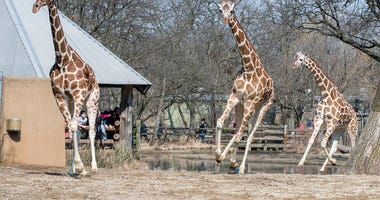 Brookfield Zoo's giraffes Arnieta, Potoka, and Jasiri run around their outdoor habitat for the first time this season.