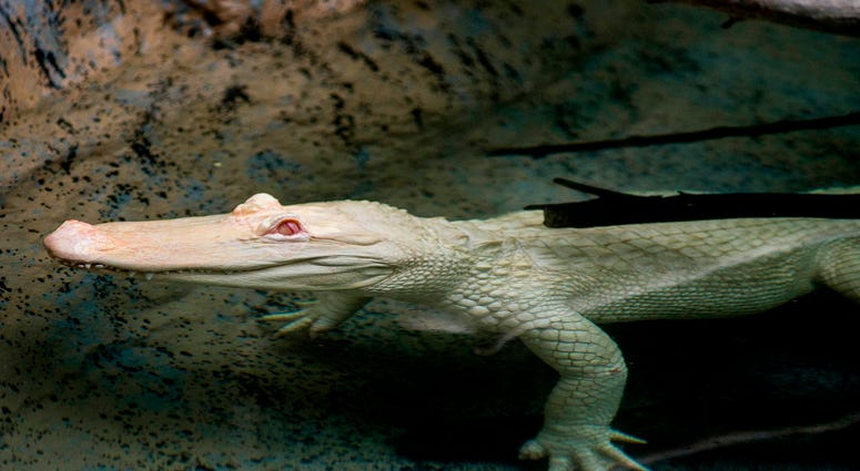 Snowflake, a 7-foot-long albino American alligator, will reside at Brookfield Zoo's Swamp habitat through September. Albino alligators are extremely rare--only about 100 exist in the world.