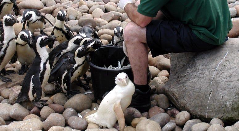 Albino Penguin, Snowdrop