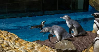 Shedd Aquarium officially announced the names of two new Magellanic penguin chicks previously known as Chick 420 and 421.