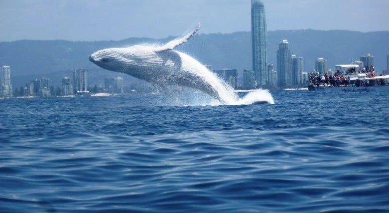 Albino Humpback Whale, Migaloo