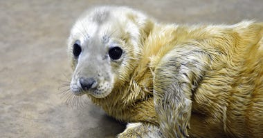 A grey seal pup born at Brookfield Zoo on January 10 is currently bonding with her mom, Tasha, behind the scenes.