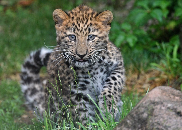 Sasha, an Amur leopard cub at Brookfield Zoo, can be for a few hours a day while he gets acclimated to his new outdoor habitat.