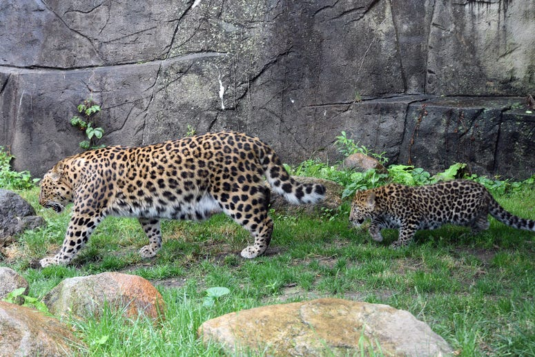 Sasha, an Amur leopard cub, with his mom Lisa at Brookfield Zoo. The nearly 4-month-old cub is making his public debut to guests when the zoo reopens.