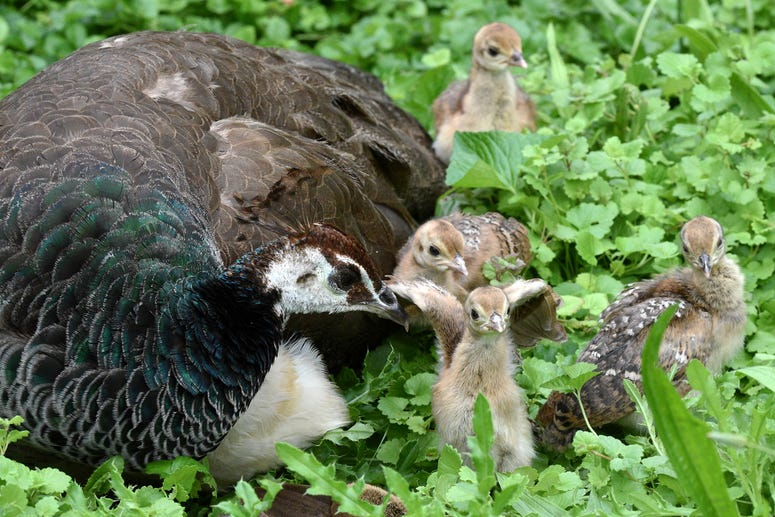 Peafowl chicks with mom Gouda at Brookfield Zoo.