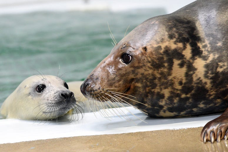 A 12-day-old grey seal pup born on January 10 is practicing her swimming skills behind the scenes at Brookfield Zoo under the watchful eye of her mom Tasha.