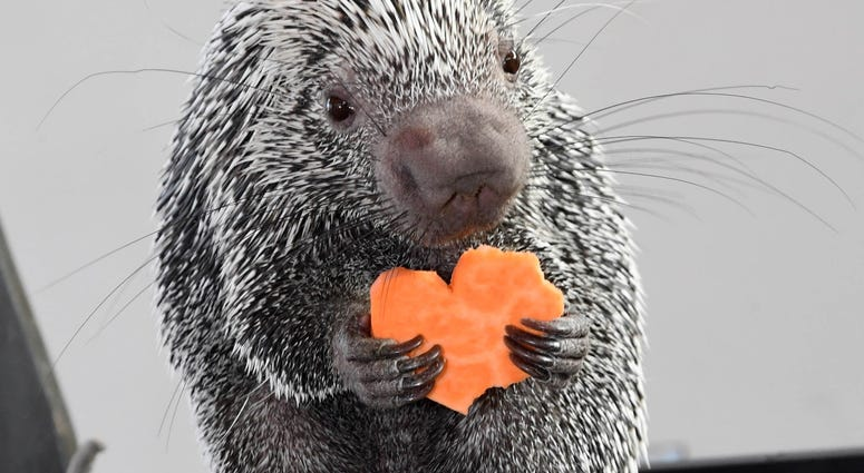 Quilbert, a prehensile-tailed porcupine at Brookfield Zoo, seemed to enjoy his sweet-potato heart-shaped treat on Valentine's Day.
