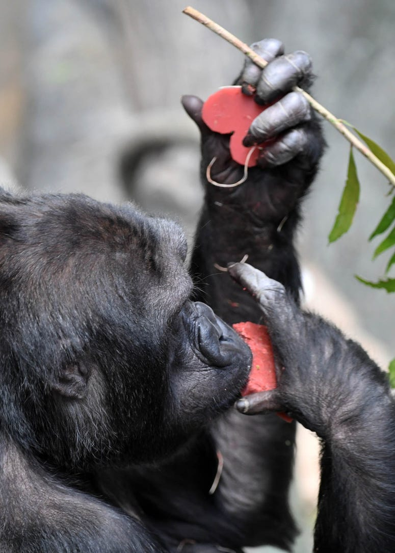 Binti Jua, a western lowland gorilla at Brookfield Zoo, seemed to enjoy the heart-shaped treats she and the other gorillas received today on Valentine's Day.