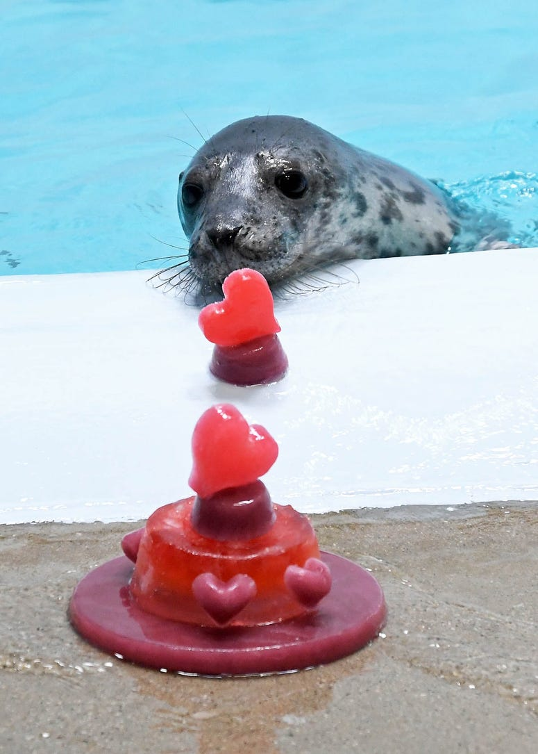 One of Brookfield Zoo's grey seal pups with heart-shaped treats.