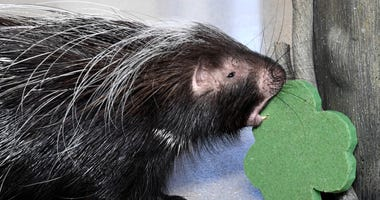 Norman, a Cape porcupine at Brookfield Zoo, received a shamrock-shaped treat in celebration of St. Patrick's Day today.