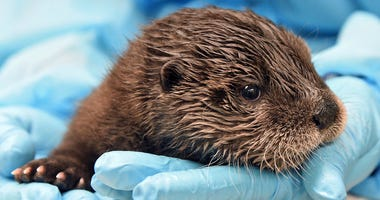 A male North American river otter pup born on February 26 is being hand-reared by Chicago Zoological Society veterinary staff.