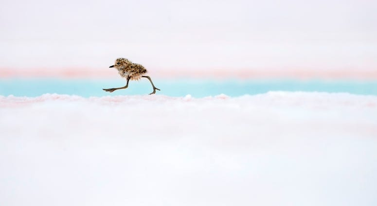 A two-banded plover chick runs after its parents in Valdes Peninsula, Patagonia, Argentina.  These downy little chicks leave their nests almost immediately after hatching, using their stilt-like legs to keep up with their parents and evade predators.