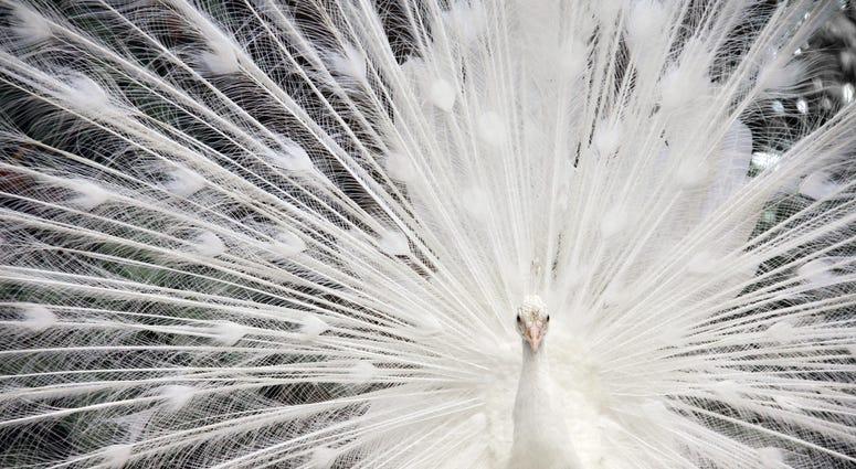 Piebald Peacock