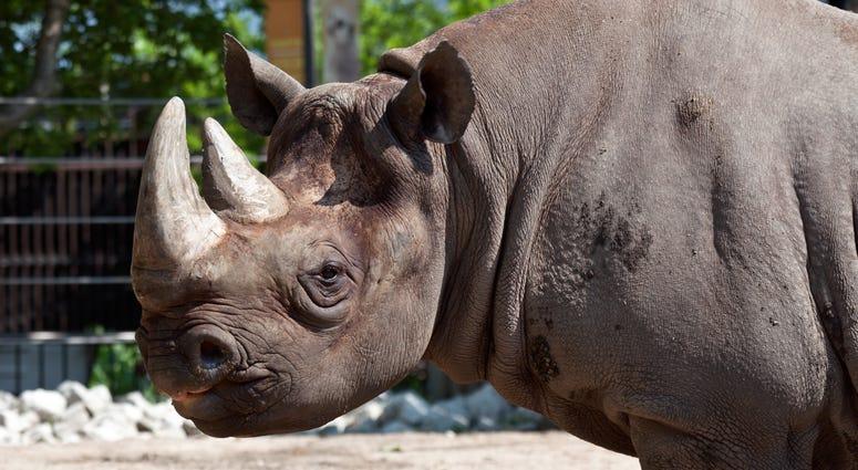Maku, a 34-year-old male eastern black rhino at Lincoln Park Zoo