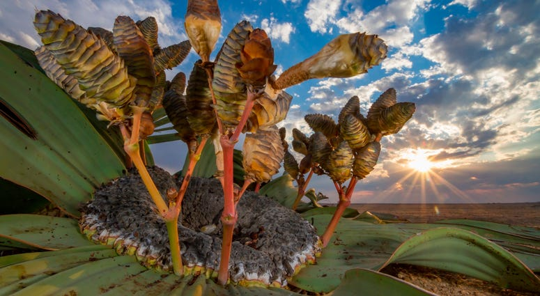 Photographer Jen Guyton trekked all day across the Namib Desert looking for the perfect welwitschiaplant to capture.  She finally spotted this aged and ragged-leaved subject.