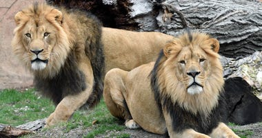 Brookfield Zoo New Lions