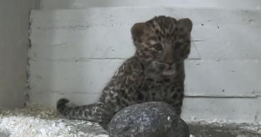 Amur Leopard Cub Born at Brookfield Zoo