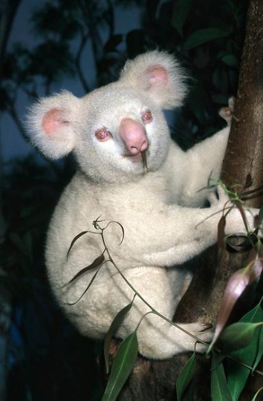 Albino Koala, Onya-Birri