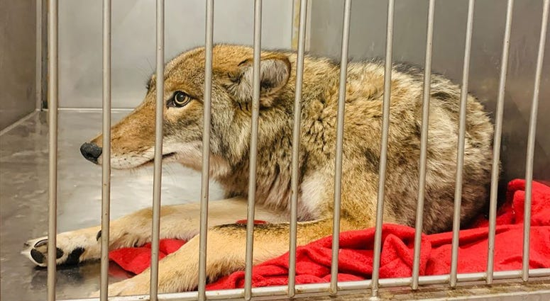A coyote was in the care of Chicago Animal Care and Control after being tranquilized on Jan. 9, 2020.