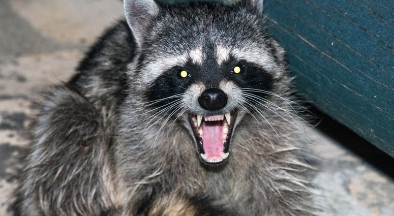 Raccoon Growling