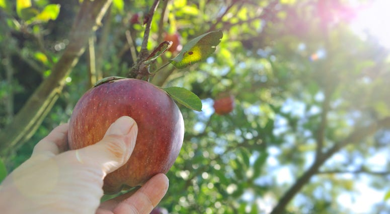 17 Places To Go Apple Picking Near Chicago Wbbm Am