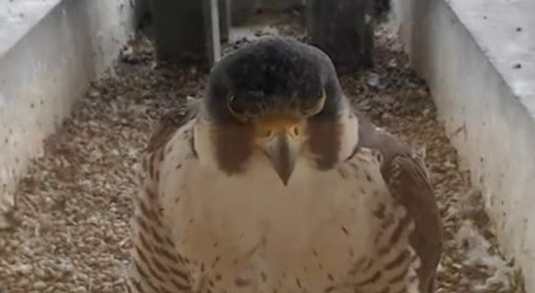 Falcons At Evanston Public Library