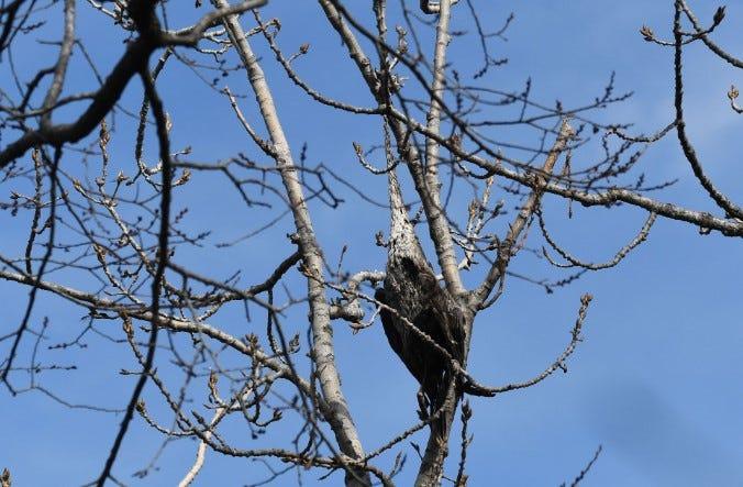 Strangled Heron Joliet