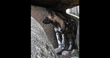 African Painted Dog Puppy at Brookfield Zoo