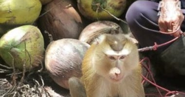 Deerfield-based Walgreens Boots Alliance has banned Aroy-D and Chaokoh coconut milk after the brands' supplier was implicated in PETA Asia's first-ever undercover investigation into the use of monkeys in Thailand's coconut industry.