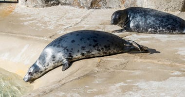 Grey Seal Pups