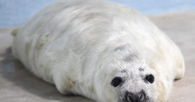 A male gray seal was born at Brookfield Zoo on December 26, 2017. Gray seal pups are born with long, white fur called lanugo, which is molted in two to four weeks and replaced with shorter, stiffer hair similar to that of adults. Animal care staff estimat