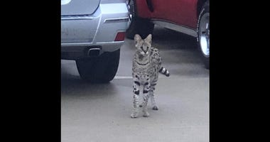 Friends of Oak Forest Animal Control posted on its Facebook page that a serval cat, or wild African cat, was found near 162nd and Latrobe.