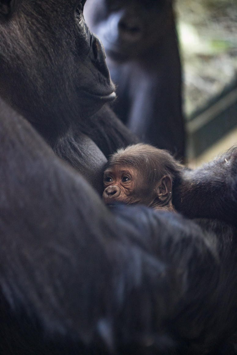 Lincoln Park Zoo western lowland gorilla Rollie received a very special Mother's Day gift: a male infant born on May 12 at Regenstein Center for African Apes.