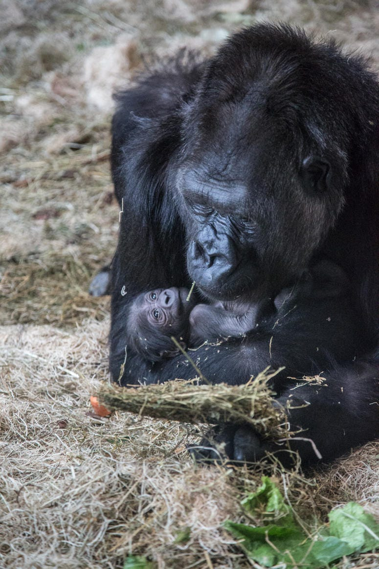 Lincoln Park Zoo's western lowland gorilla troop welcomed another new face June 12 at Regenstein Center for African Apes! Bana, 24, gave birth to a healthy infant, exactly one month after the arrival of a male infant, born to female Rollie, May 12.