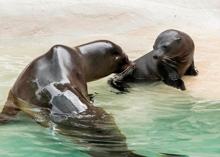 Charger, a month-old California sea lion pup made his public debut at Brookfield Zoo. He can be seen with his mom, Josephine, at the zoo's Pinniped point.
