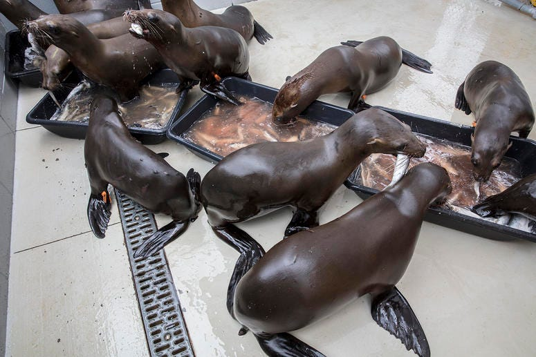 Feeding time for the for malnourished California sea lion pups at CIMWI.