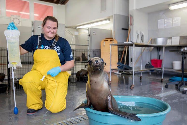 Sage Rosenbrock, veterinary technician at Shedd Aquarium, administers IV fluids for a rescued California sea lion pup in a warming pool.