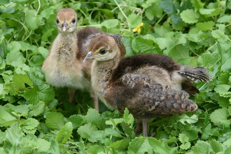 Two of seven peafowl chicks born at Brookfield Zoo recently.