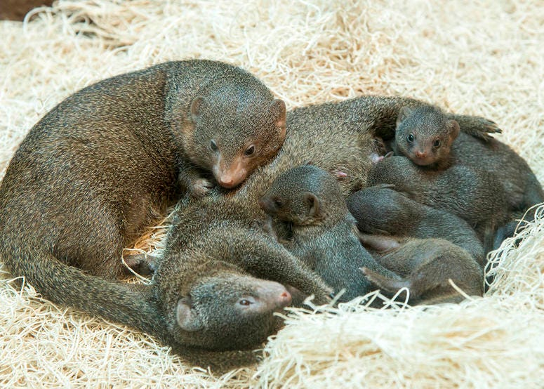 Five mongoose pups were born at Brookfield Zoo on May 20.