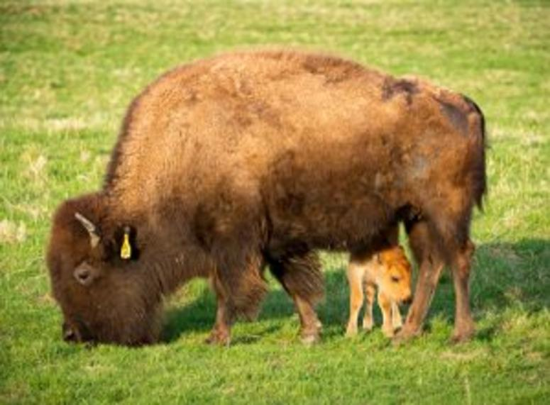 The Fermilab bison herd welcomed its first baby this season on April 20.