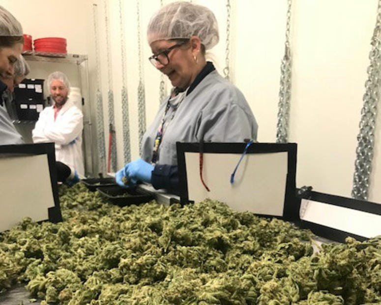 Cresco Labs marijuana cultivation conveyor