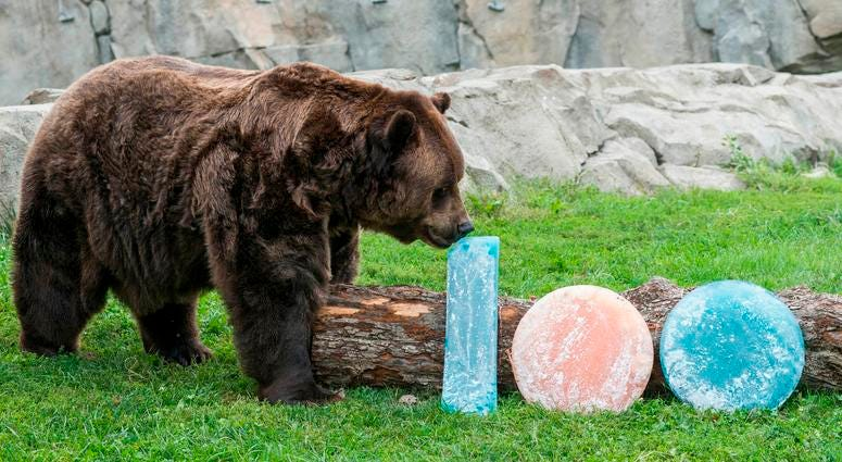 Jim, one of Brookfield Zoo's grizzly bears, is treated to orange and blue ice treats filled with oranges and blueberries in celebration of their favorite Chicago football team celebrating the start of their 100th season.