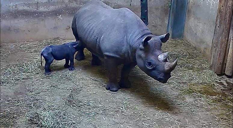 Lincoln Park Zoo announces birth of black rhinoceros