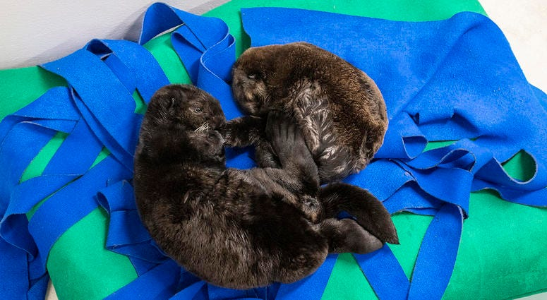 Two orphaned southern sea otter pups enjoy nap time at the Shedd Aquarium