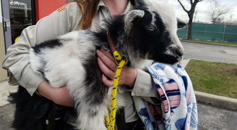 Romeoville Goat