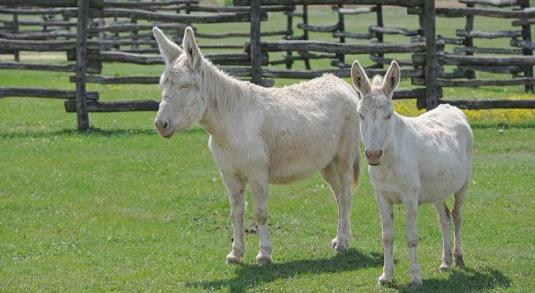 Albino Donkey